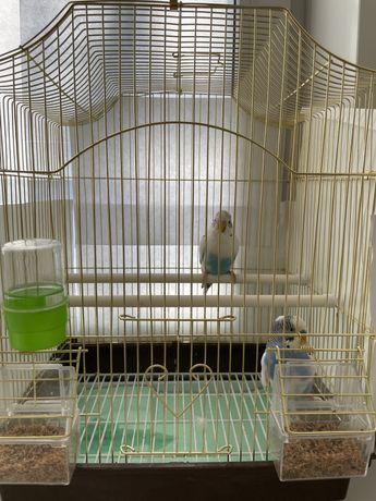 Волнистые попугаи — самые популярные домашние питомцы среди всех перна
