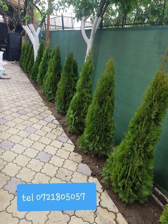 Tuia smarald la înălțime de 1m-3m /gazon rulou sport