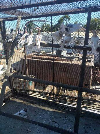 Продам голубей алматинцев