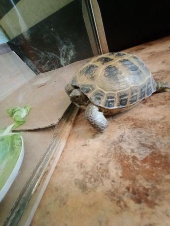 Продам черепаху сухопутную.