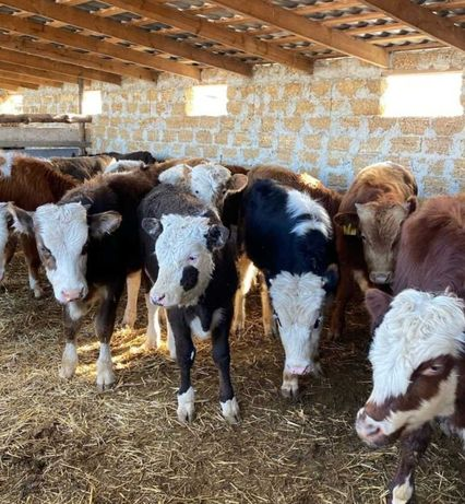 Телята коровы бычки телочки сементал бычёк ангус акбас