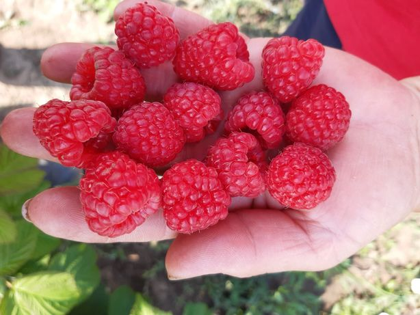 Teren agricol Ferma de mure , zmeura si pomi fructiferi