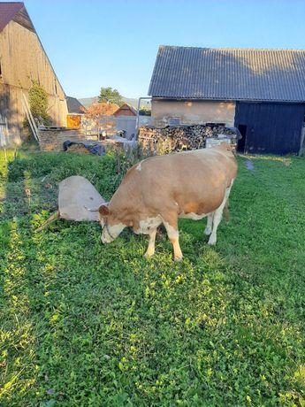 Vaca gestanta 7 luni