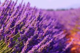 Лавандулово био масло / Lavender oil