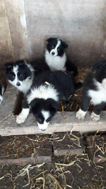 Căței border collie din linii cu pedigree