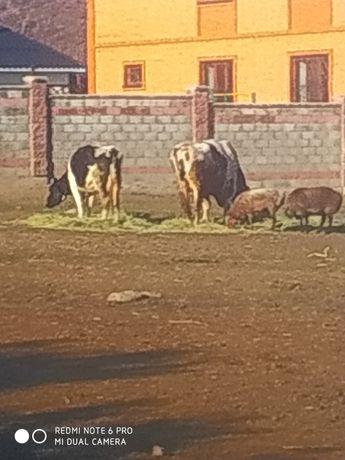 Нолштейн бык три года крупный высокий рост 165