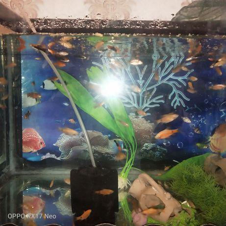 Меченосцы рыбки.