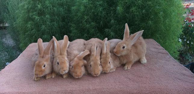 Продаётся крольчята породы бургунский