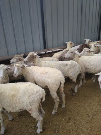 Продам жирных овец с откорма . Семіз , бордақыланған қой сатылады .