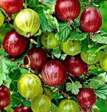 Agriș alb și rosu