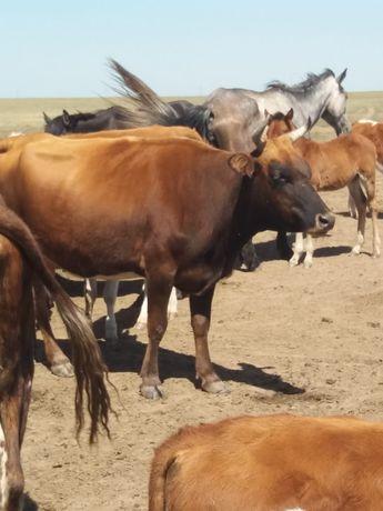 Продам Корову стельную 5 лет + бычок 6 месяцов