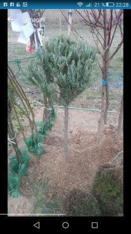 Ienupar chinezesc glob ienupar blu arow