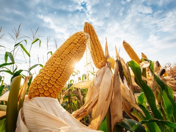 Кукуруза кормовая в початках