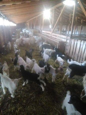 Продава ярета и кози за клане,също така и козе сирене.