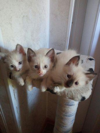 Продам котят сеамской породы