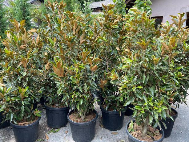 Magnolia grandiflora tufa sau copac