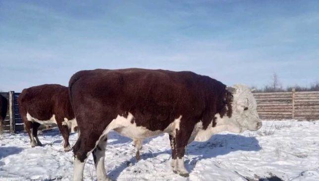 Продам бузау бузаулар коровы акбас еркек урхашы ангус сементал бузалар