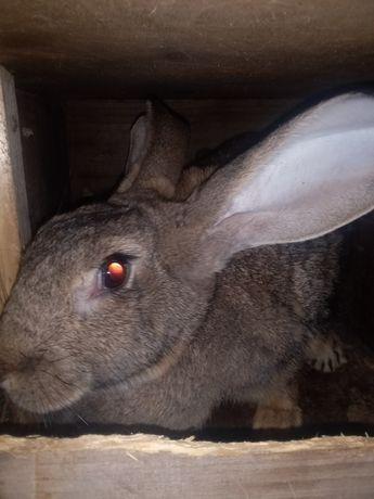 Продам кроликов фландеров и колифорния