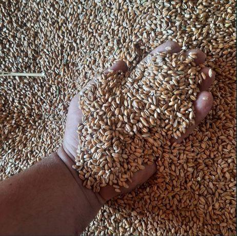 Продам ячмень пшеницу оптом