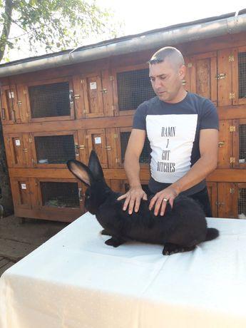 Vând iepuri uriaș negru pui s-au maturi