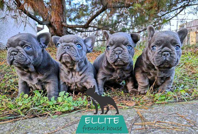 Bulldog Francez - ELLITE KENNEL - Blue - Super Premium