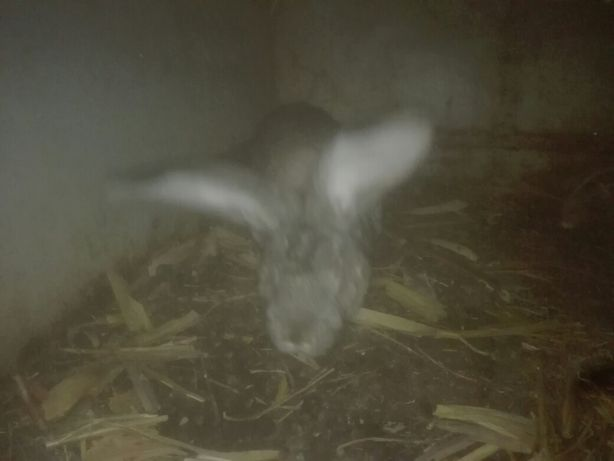 Vand iepuri rasa californian, neozeelandez si urias german