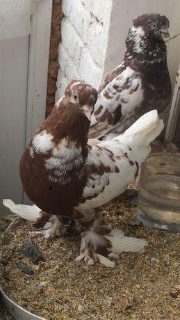 Продам голубей Андижанской породы: Белые, чины, красногрудые, чили