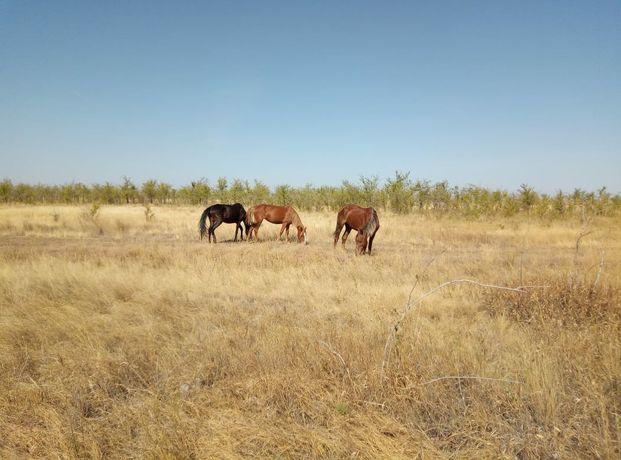 Жылқы сатам/ продам лошадей