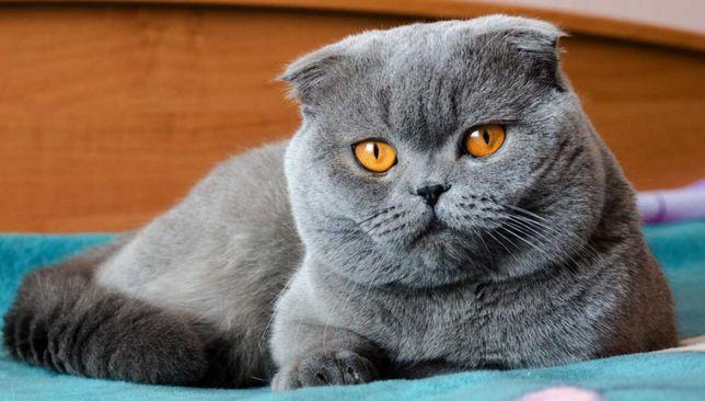 Котик  вислоухий