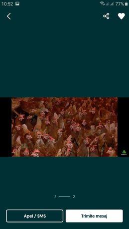 Vand găini roși de ouă livrez la domiciliu