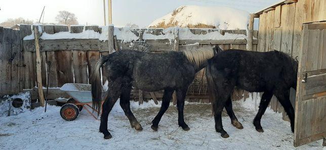 Лошади откормленные