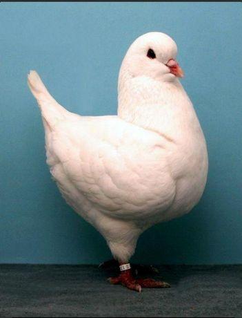 Продам мясных голубей Кинги