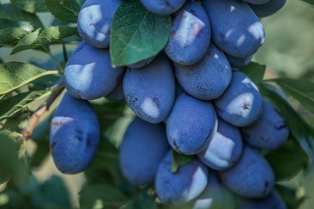 Vând prune de țuică