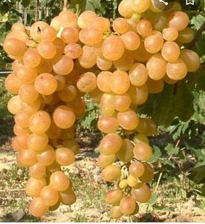 Vita de vie și pomi fructiferi
