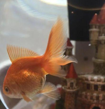 Золотые рыбки местные Актобе