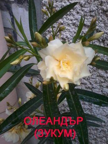 Продавам цветя - Олеандър (Зокум)