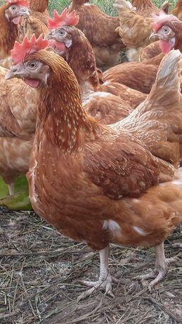 Куры несушки,несушки,куры,курицы,курица,тауық