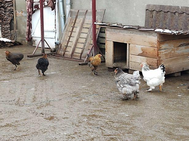 Vând găini de rasa brahma  crescute in gospodarie și ouă