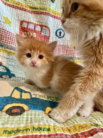 Рыже-белый котенок