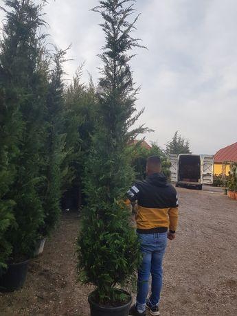 Lylandi tuia de gard viu 4m înălțime
