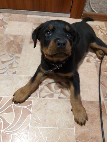 Ротвейлер щенок 50 000 два месяца