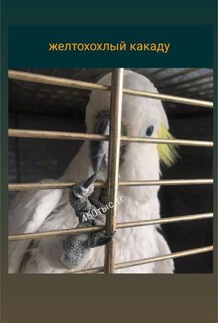 Какаду домашняя умная птица