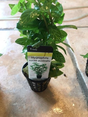 Planta Hygrophila rosae australis