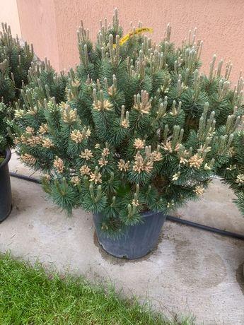 Pinus Mugo Montana