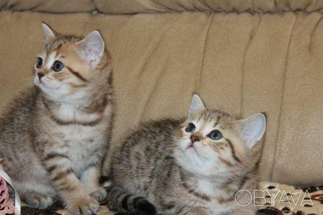 Продаются породистые британские и шотландские котята по акции