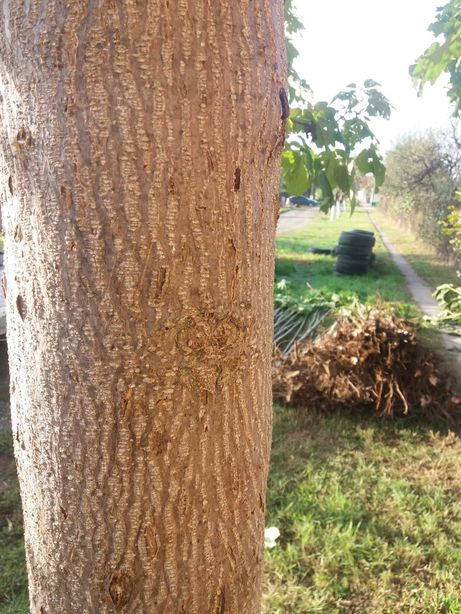 Pomi Paulownia tomentosa