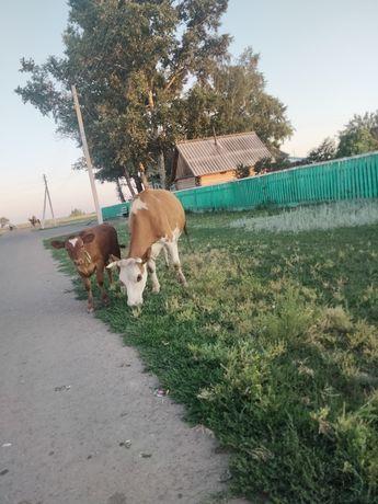 Продам телку 3 года с теленком