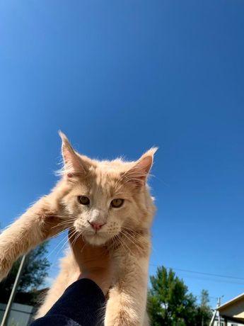 Котик породы Мейн-Кун