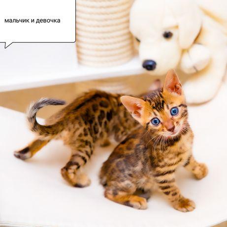 Бенгальские котята современного типа