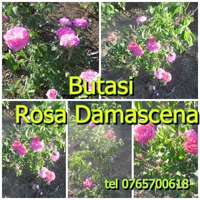 BUTASI Trandafiri pentru dulceata ROSA DAMASCENA